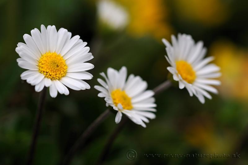 kvety-schneeberg