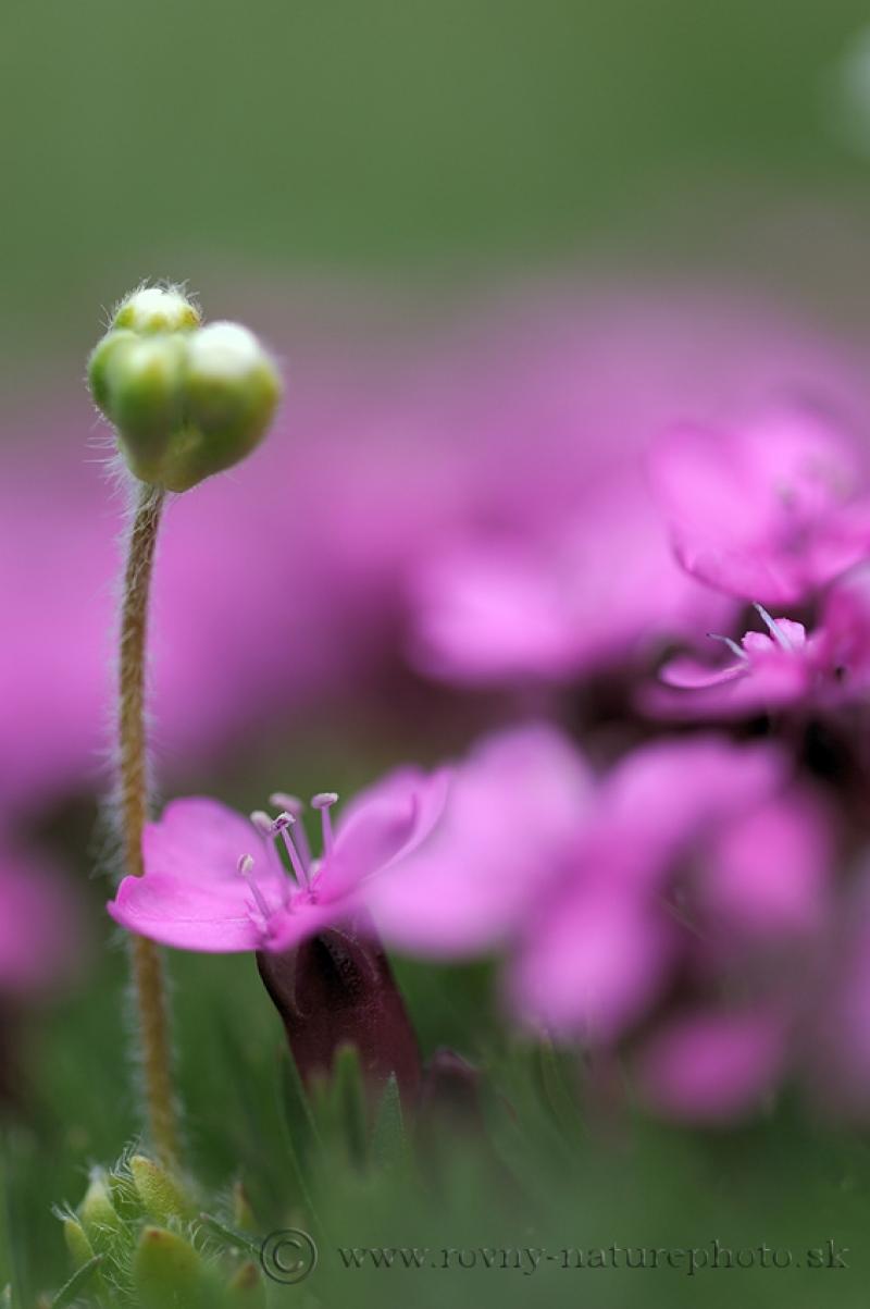 kvety-schneeberg1
