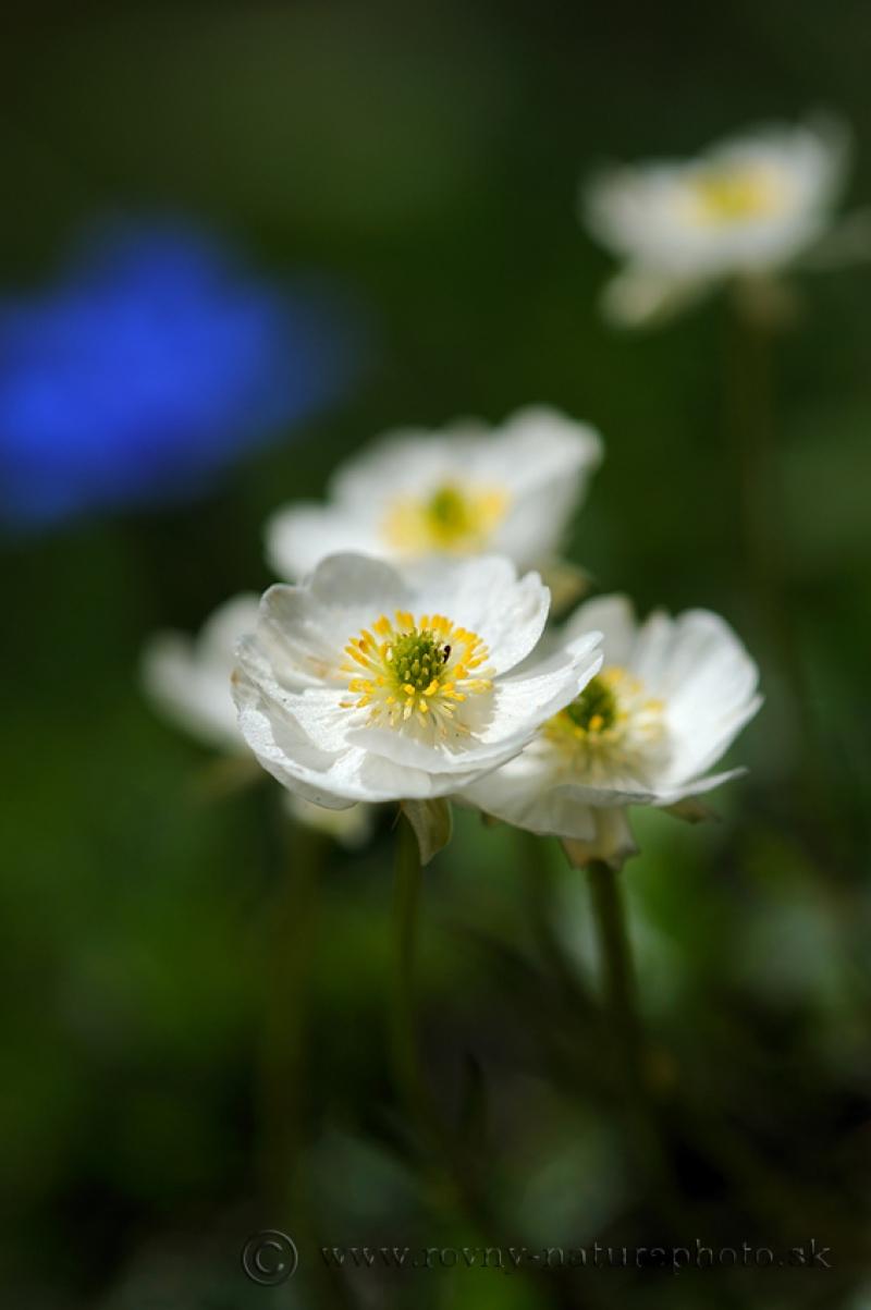 kvety-schneeberg2